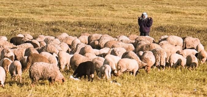 sheep-2545387_1280